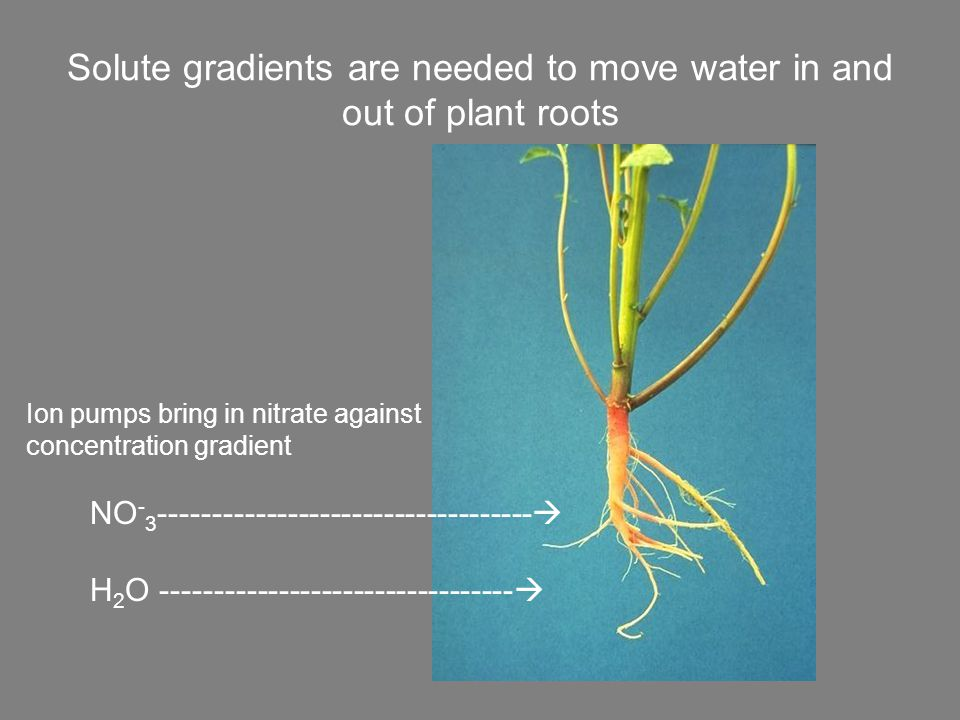 Solute gradients are needed to move water in and out of plant roots NO - 3 ----------------------------------- H 2 O ---------------------------------