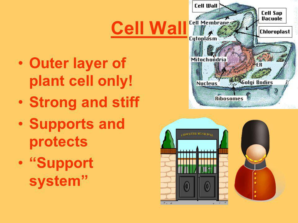 Cell Wall Outer layer of plant cell only! Strong and stiff Supports and protects Support system