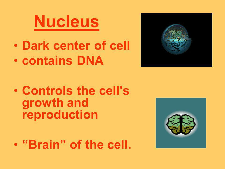 Nucleus Dark center of cell contains DNA Controls the cell's growth and reproduction Brain of the cell.