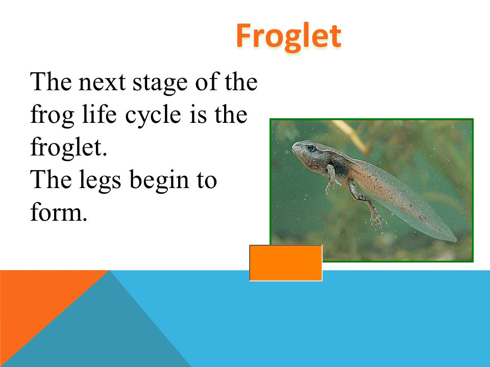 As a grows, lungs begin to form. Back and front legs begin to grow. These parts allow the adult frog to live on land.