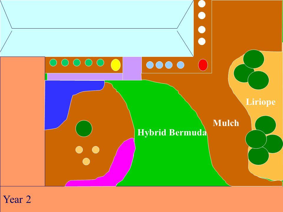 Hybrid Bermuda Liriope Mulch Year 2