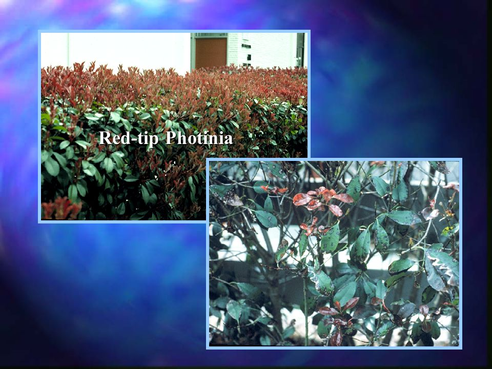Red-tip Photinia