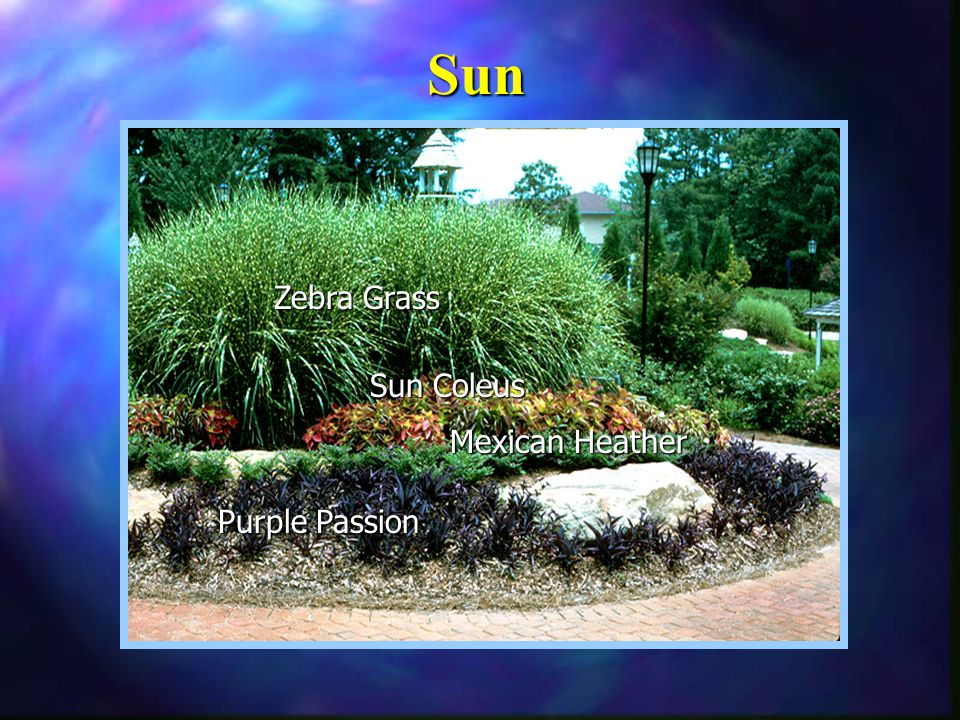 Zebra Grass Sun Coleus Purple Passion Mexican Heather Sun