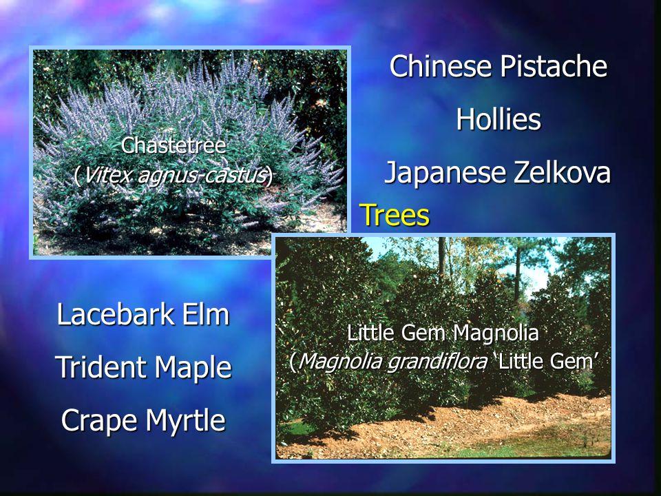 Little Gem Magnolia (Magnolia grandiflora Little Gem Chastetree (Vitex agnus-castus) Chinese Pistache Hollies Japanese Zelkova Lacebark Elm Trident Maple Crape Myrtle Trees