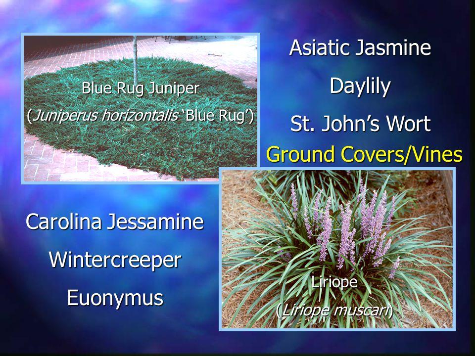 Asiatic Jasmine Daylily St.