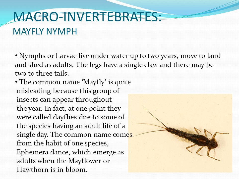 MACRO-INVERTEBRATES: MAYFLY NYMPH Nymphs or Larvae live under water up to two years, move to land and shed as adults. The legs have a single claw and