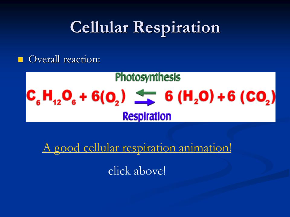 Cellular Respiration Overall reaction: Overall reaction: A good cellular respiration animation! click above!