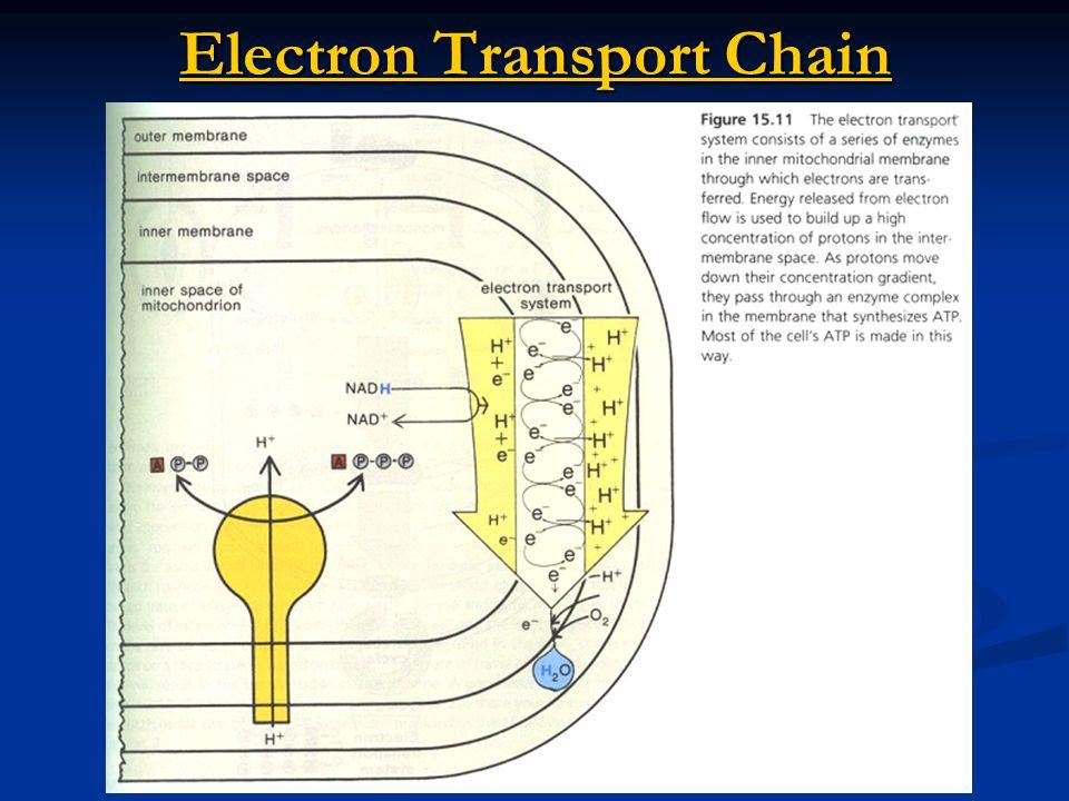Electron Transport Chain Electron Transport Chain