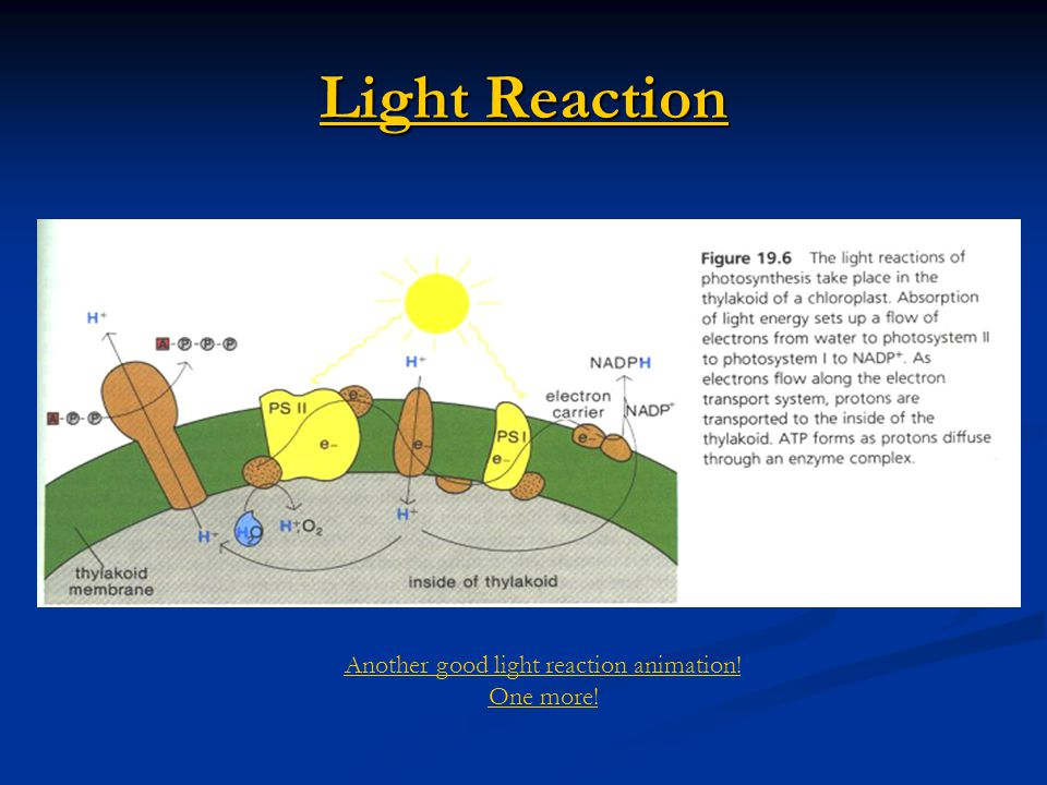 Light Reaction Light Reaction Another good light reaction animation! One more!
