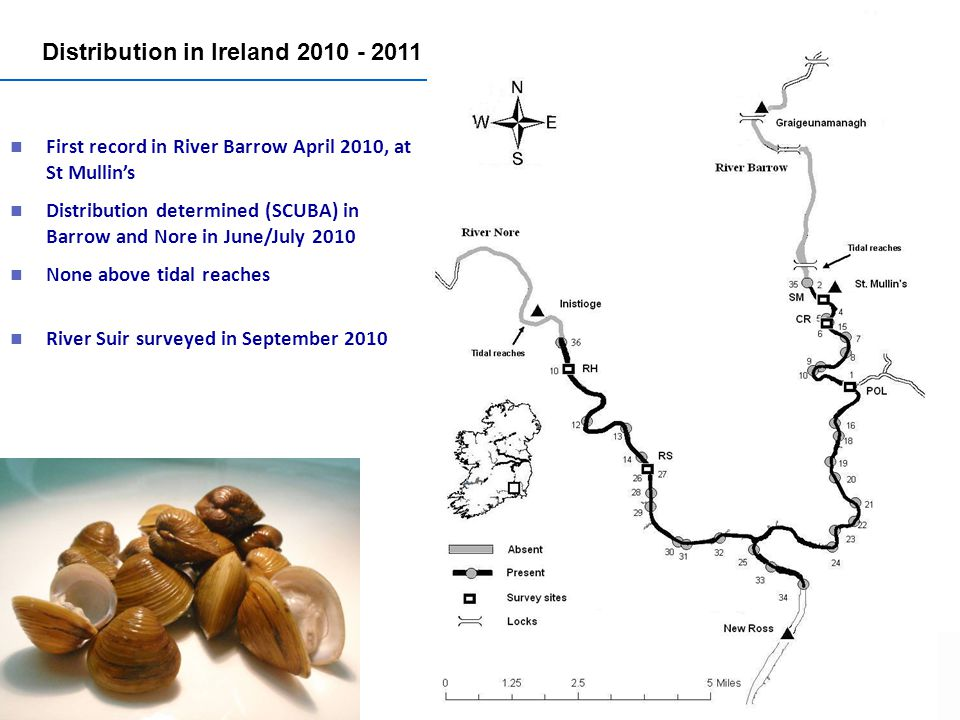 Distribution in Ireland First record in River Barrow April 2010, at St Mullins Distribution determined (SCUBA) in Barrow and Nore in June/July 2010 None above tidal reaches River Suir surveyed in September 2010