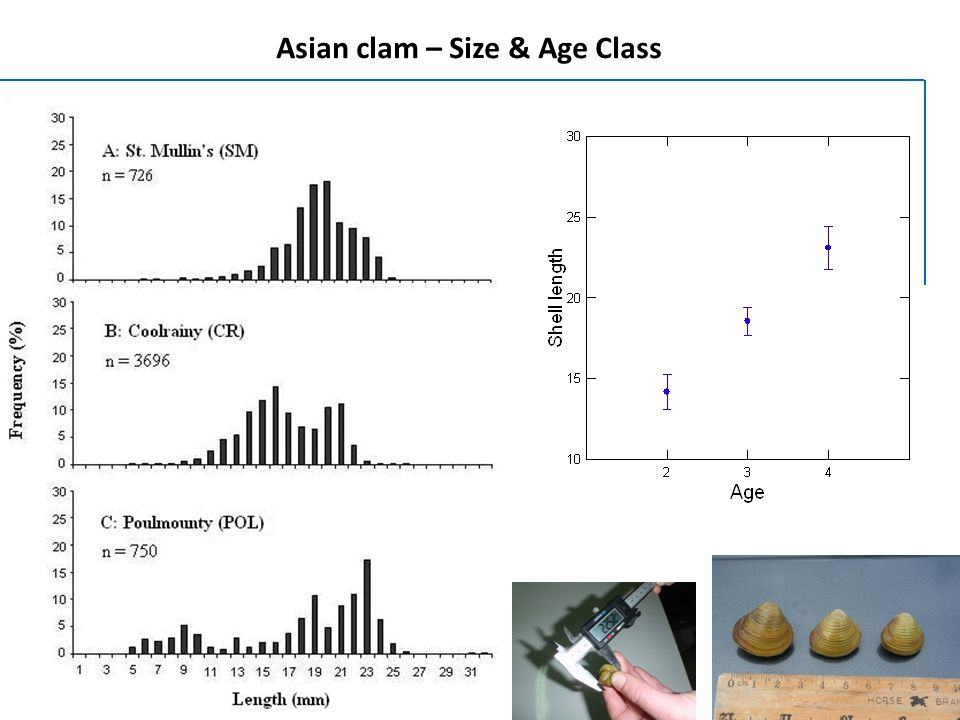 Asian clam – Size & Age Class