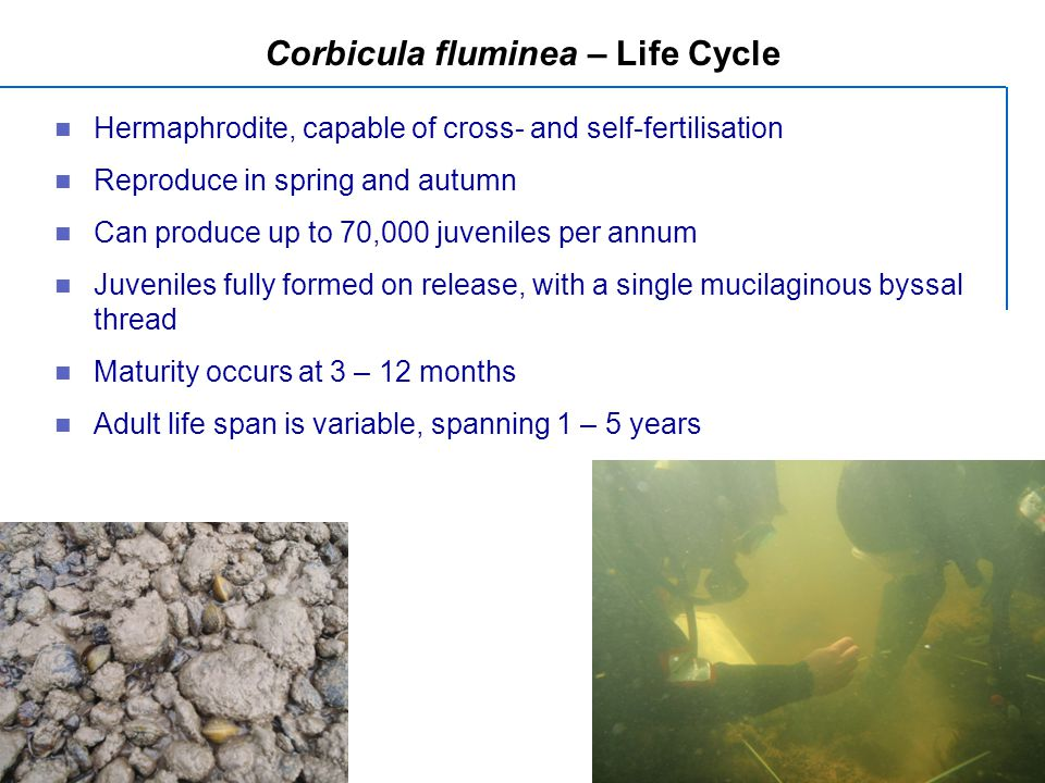 Corbicula fluminea – Life Cycle Hermaphrodite, capable of cross- and self-fertilisation Reproduce in spring and autumn Can produce up to 70,000 juveniles per annum Juveniles fully formed on release, with a single mucilaginous byssal thread Maturity occurs at 3 – 12 months Adult life span is variable, spanning 1 – 5 years
