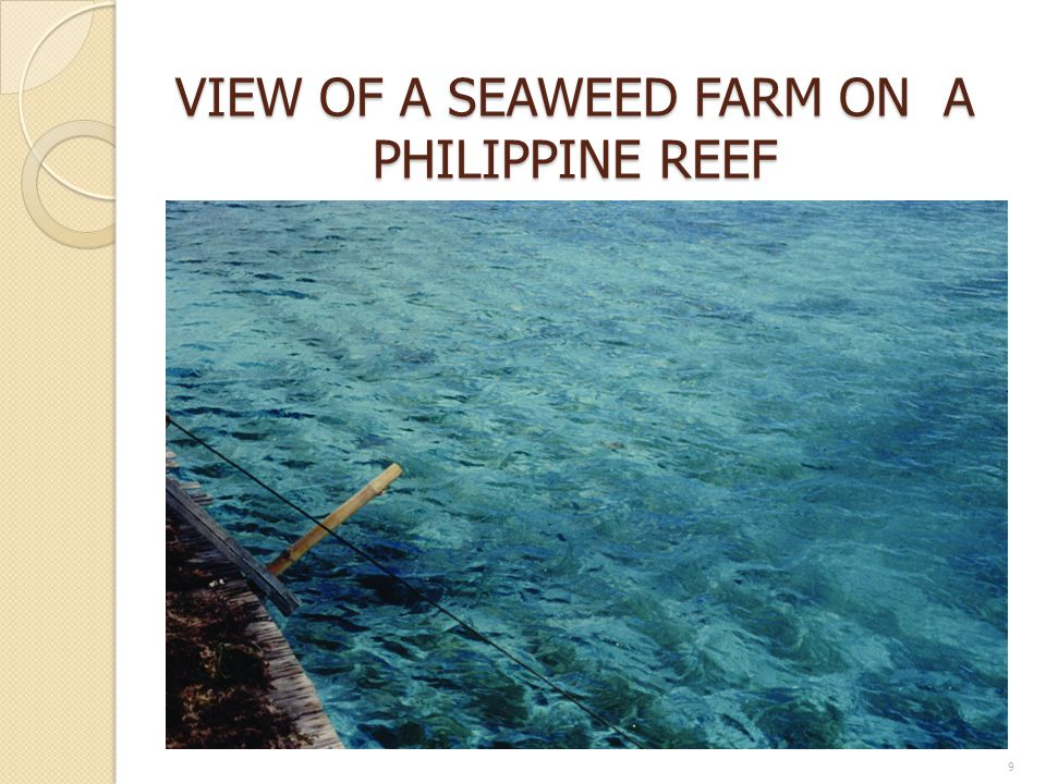 VIEW OF A SEAWEED FARM ON A PHILIPPINE REEF 9