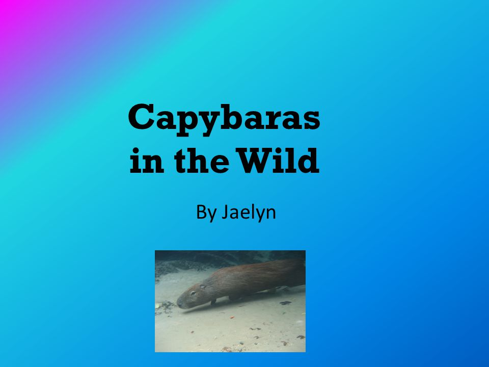 Capybaras in the Wild By Jaelyn