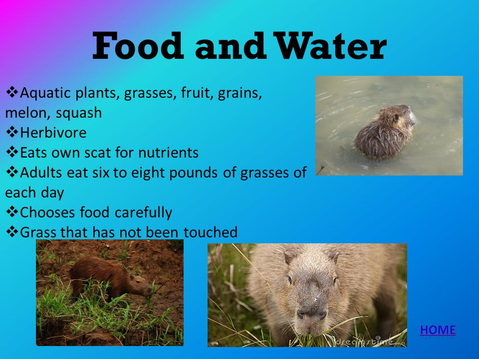 Food and Water Aquatic plants, grasses, fruit, grains, melon, squash Herbivore Eats own scat for nutrients Adults eat six to eight pounds of grasses o