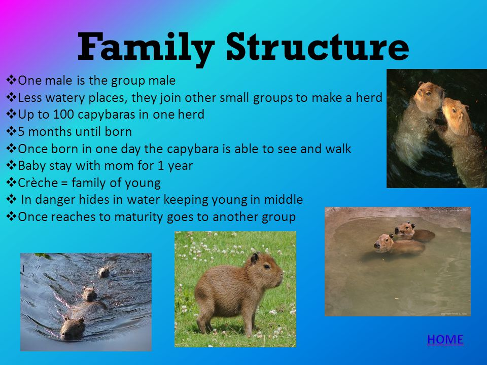 Family Structure One male is the group male Less watery places, they join other small groups to make a herd Up to 100 capybaras in one herd 5 months u