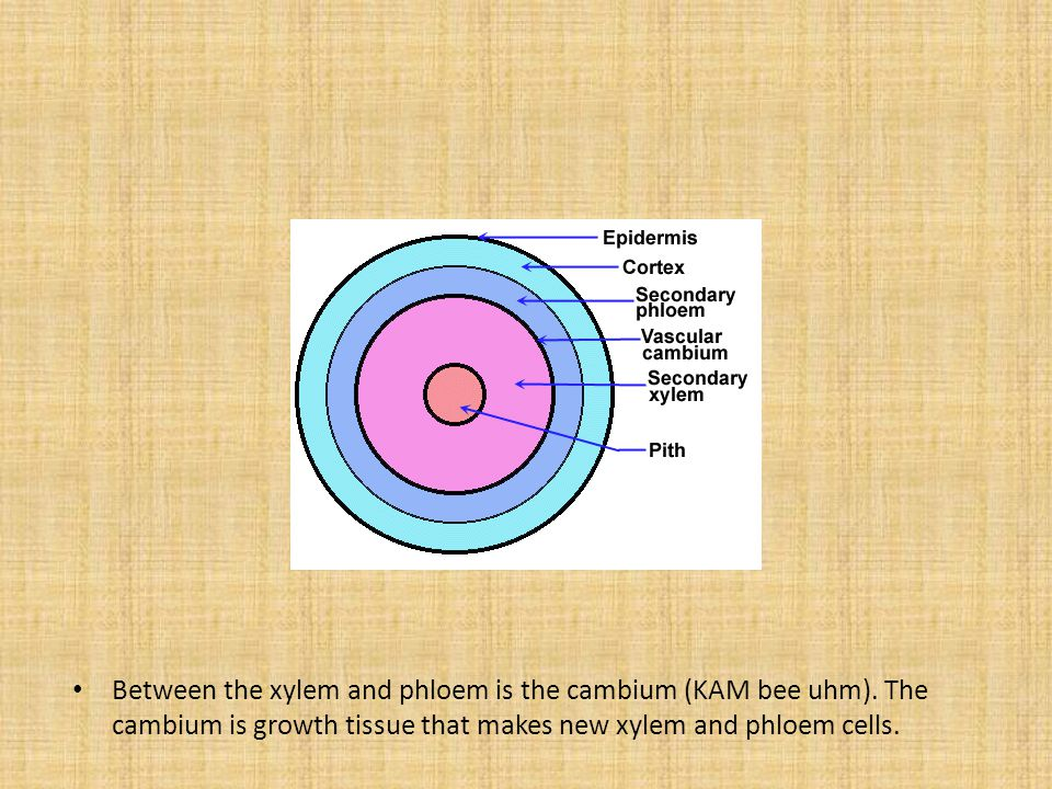 Between the xylem and phloem is the cambium (KAM bee uhm). The cambium is growth tissue that makes new xylem and phloem cells.
