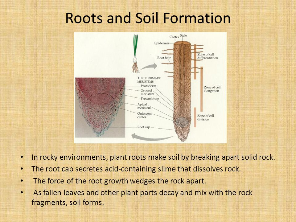 Roots and Soil Formation In rocky environments, plant roots make soil by breaking apart solid rock. The root cap secretes acid-containing slime that d