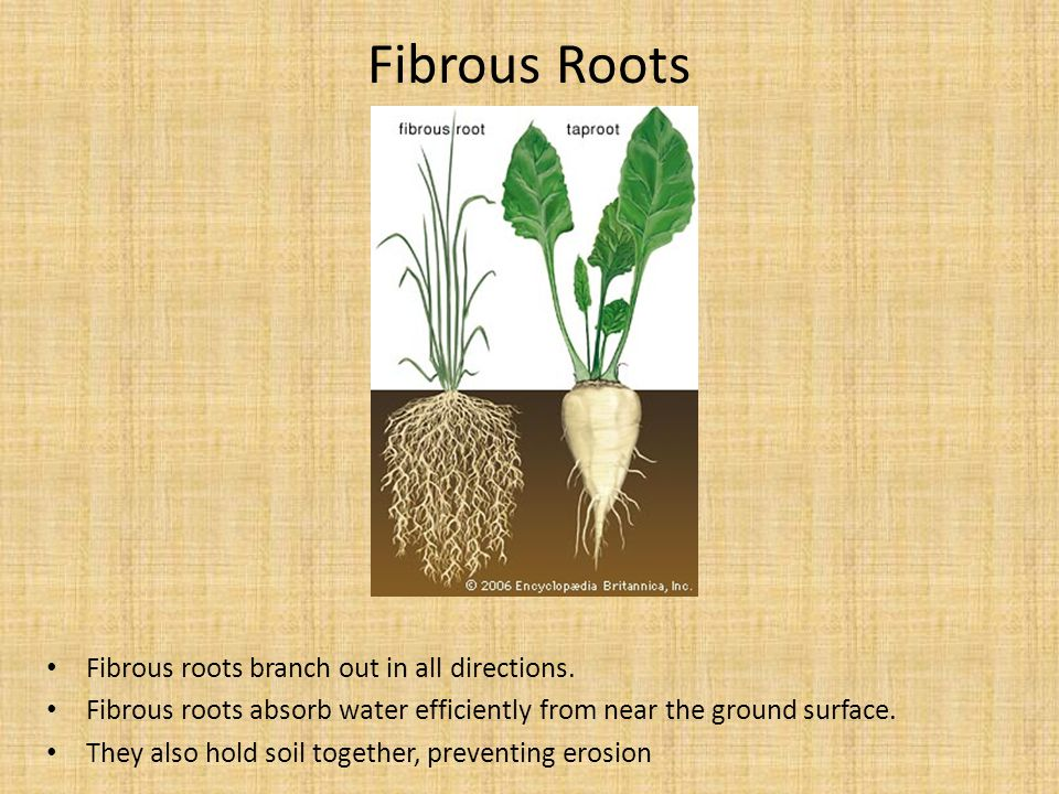 Fibrous Roots Fibrous roots branch out in all directions. Fibrous roots absorb water efficiently from near the ground surface. They also hold soil tog