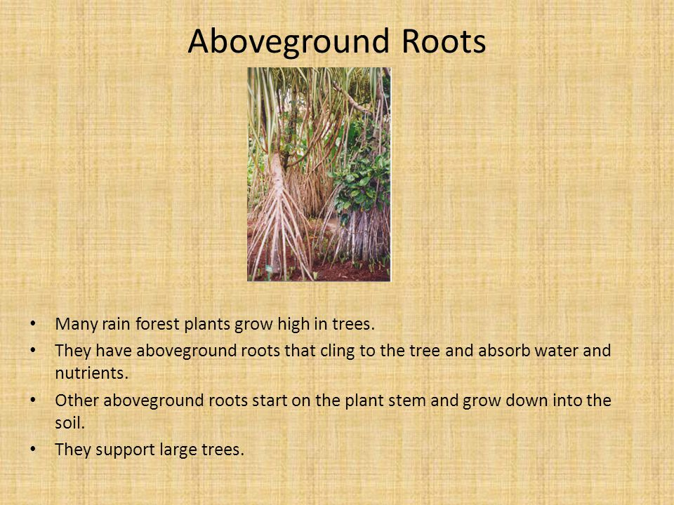 Aboveground Roots Many rain forest plants grow high in trees. They have aboveground roots that cling to the tree and absorb water and nutrients. Other
