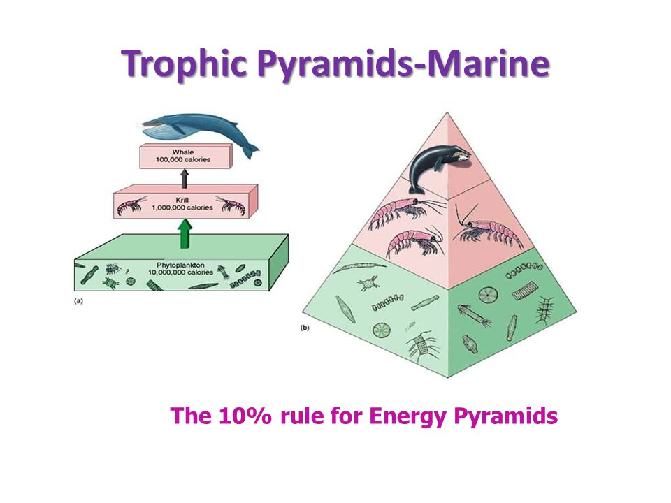 Trophic Pyramids-Marine The 10% rule for Energy Pyramids