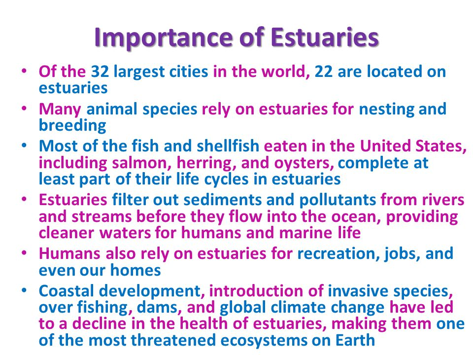Importance of Estuaries Of the 32 largest cities in the world, 22 are located on estuaries Many animal species rely on estuaries for nesting and breeding Most of the fish and shellfish eaten in the United States, including salmon, herring, and oysters, complete at least part of their life cycles in estuaries Estuaries filter out sediments and pollutants from rivers and streams before they flow into the ocean, providing cleaner waters for humans and marine life Humans also rely on estuaries for recreation, jobs, and even our homes Coastal development, introduction of invasive species, over fishing, dams, and global climate change have led to a decline in the health of estuaries, making them one of the most threatened ecosystems on Earth
