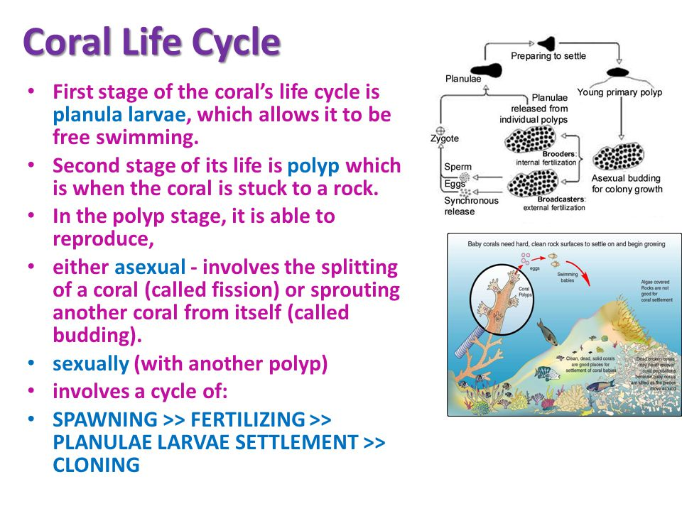 Coral Life Cycle First stage of the corals life cycle is planula larvae, which allows it to be free swimming.