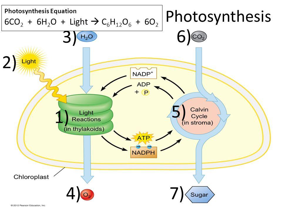 Photosynthesis 1) 2) 3) 4) 5) 6) 7) Photosynthesis Equation 6CO 2 + 6H 2 O + Light C 6 H 12 O 6 + 6O 2
