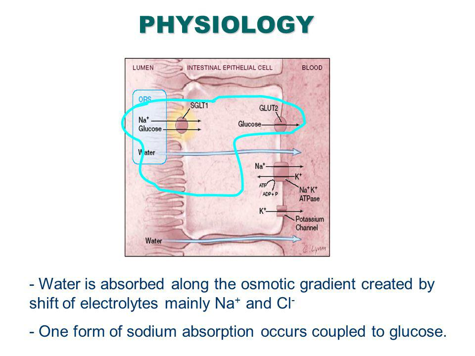 27PHYSIOLOGY - Water is absorbed along the osmotic gradient created by shift of electrolytes mainly Na + and Cl - - One form of sodium absorption occu