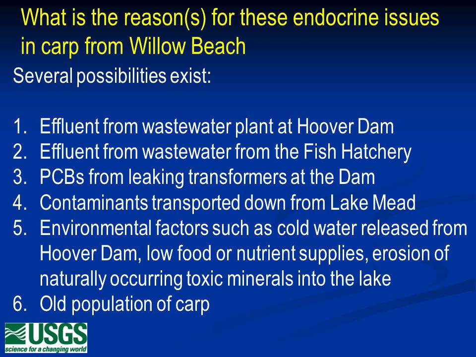 What is the reason(s) for these endocrine issues in carp from Willow Beach Several possibilities exist: 1.Effluent from wastewater plant at Hoover Dam 2.Effluent from wastewater from the Fish Hatchery 3.PCBs from leaking transformers at the Dam 4.Contaminants transported down from Lake Mead 5.Environmental factors such as cold water released from Hoover Dam, low food or nutrient supplies, erosion of naturally occurring toxic minerals into the lake 6.Old population of carp