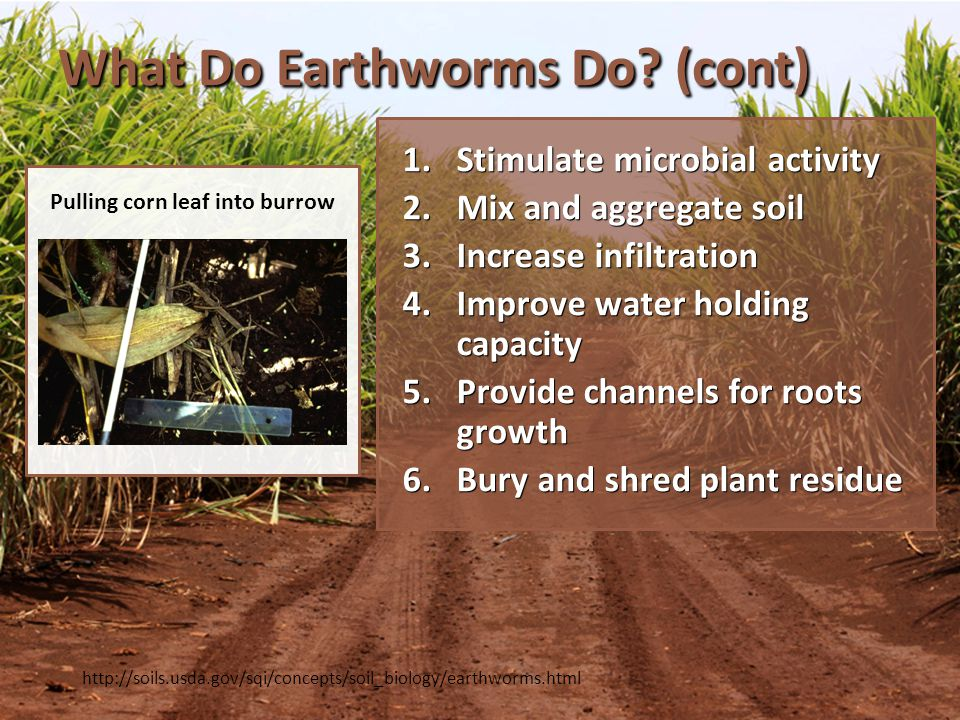 Summary – Ecosystem Engineers Organisms that make major alterations to the physical environment that influences the habitats for many other organisms within the ecosystem Organisms that make major alterations to the physical environment that influences the habitats for many other organisms within the ecosystem Earthworms dominate the soil invertebrates, occur at every trophic level Earthworms dominate the soil invertebrates, occur at every trophic level – Native populations are biodiverse, species and functional diversity – Invasive populations are more likely to have greater biomass but less diversity – Invasive earthworms can be damaging in forest floors but beneficial in some agricultural systems