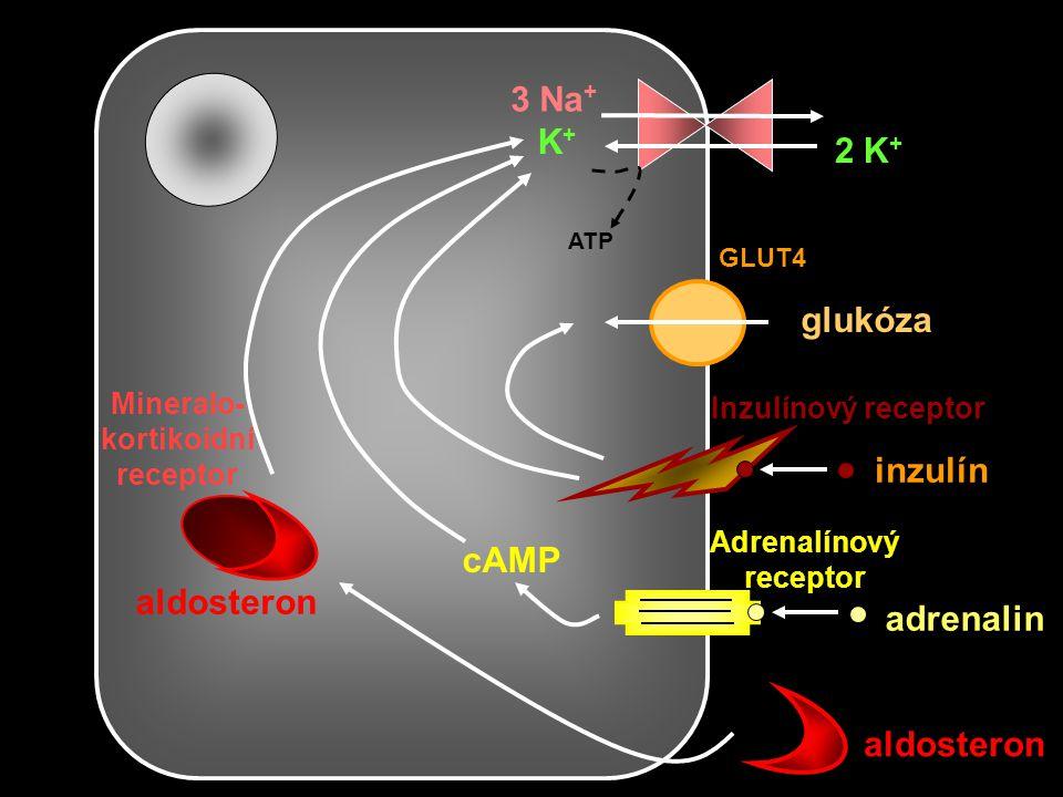 inzulín adrenalin 2 K + 3 Na + ATP glukóza GLUT4 aldosteron Mineralo- kortikoidní receptor Inzulínový receptor Adrenalínový receptor cAMP K +