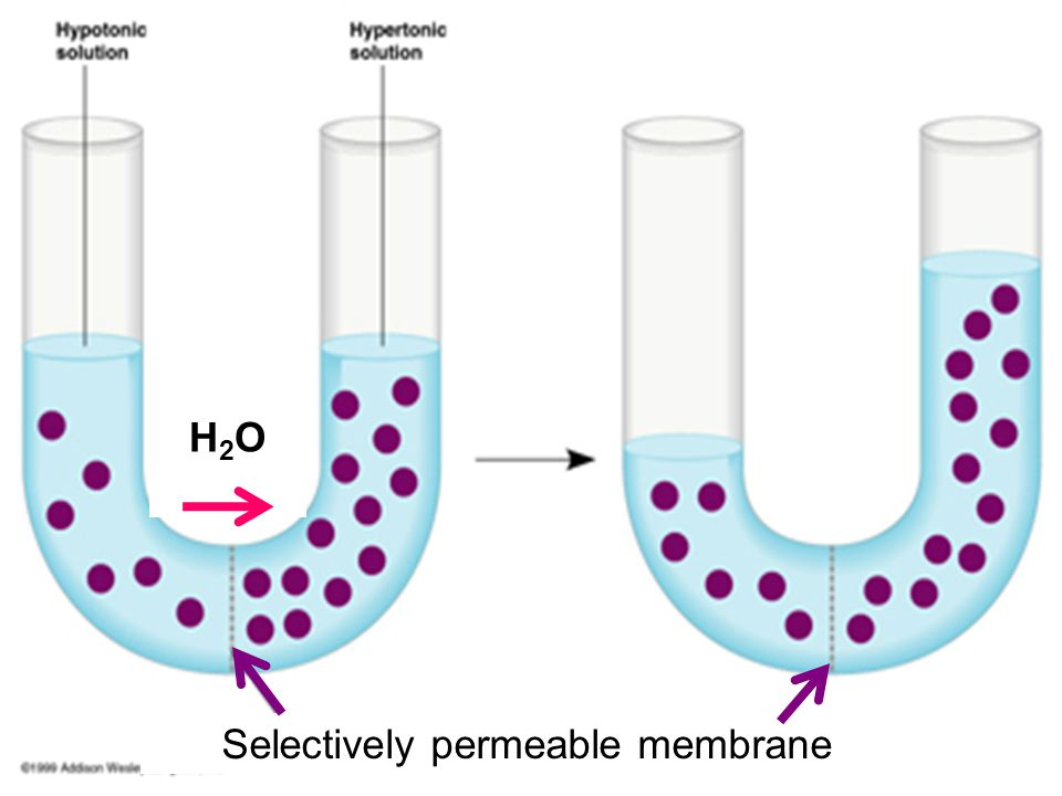 Selectively permeable membrane H2OH2O
