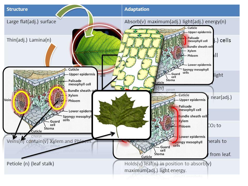 StructureAdaptation Large flat(adj.) surfaceAbsorb(v) maximum(adj.) light(adj.) energy(n) Thin(adj.) Lamina(n) 1.Allows(v) CO 2 – reach(v) inner(adj.) cells rapidly(adv.) 2.Enables(v) sunlight(n) reach(v) all mesophyll(adj.) cells Chloroplast(n) contains(v) Chlorophyll(n)- all mesophyll(adj.) cells Chlorophyll(n) absorbs(v) transforms(v) light energy(n) to chemical energy(n) used(v) Photosynthesis(n) More(adj.) chloroplast(n) in(prep.) upper palisade(adj.) tissue(n) More(adj.) light(n) can be absorbed(v) near(adj.) sunlight(n) Air spaces(n) in mesophyll(n)Rapid(adj.) diffusion(n) of CO 2 and O 2.