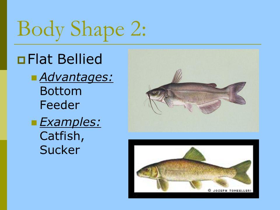 Body Shape 2: Flat Bellied Advantages: Bottom Feeder Examples: Catfish, Sucker