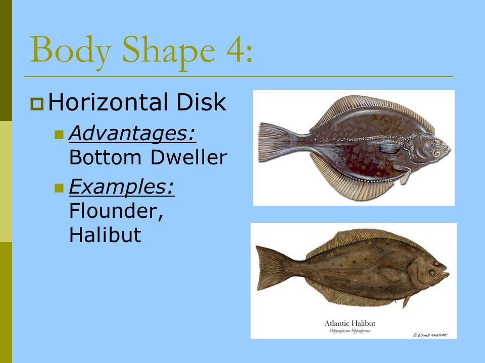 Body Shape 4: Horizontal Disk Advantages: Bottom Dweller Examples: Flounder, Halibut