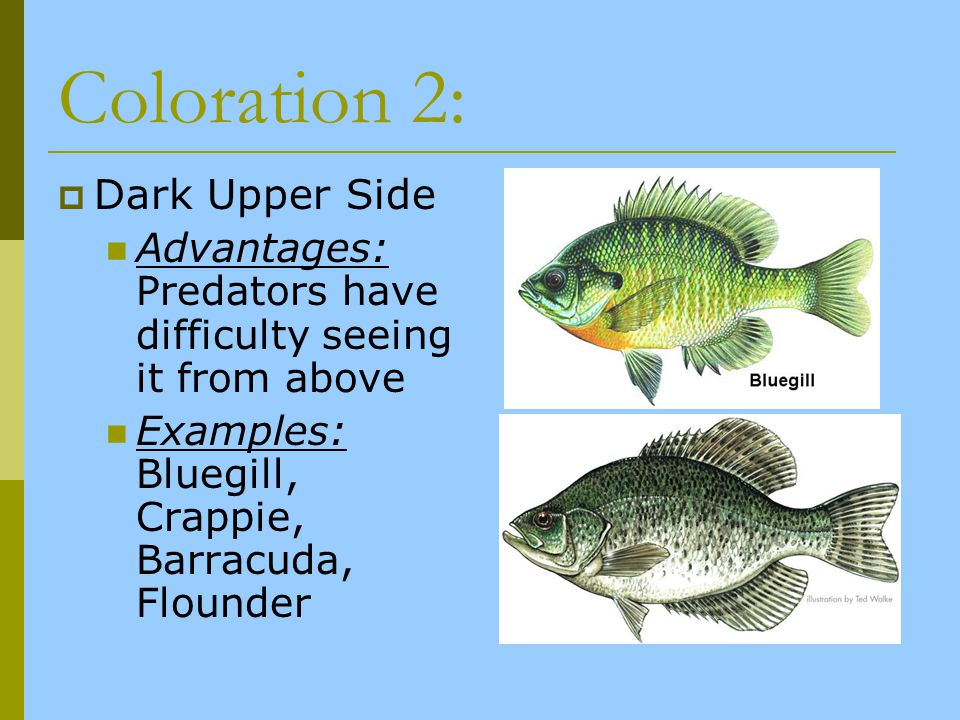 Coloration 2: Dark Upper Side Advantages: Predators have difficulty seeing it from above Examples: Bluegill, Crappie, Barracuda, Flounder