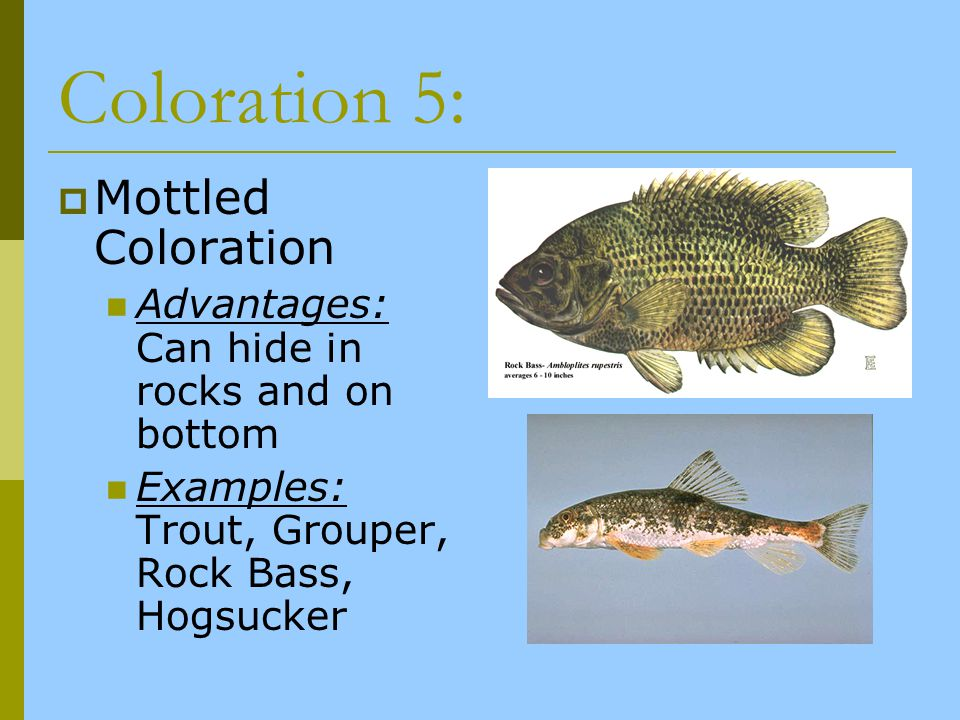Coloration 5: Mottled Coloration Advantages: Can hide in rocks and on bottom Examples: Trout, Grouper, Rock Bass, Hogsucker