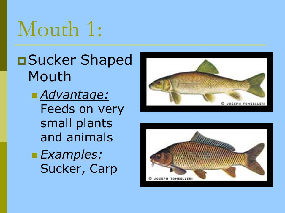 Mouth 1: Sucker Shaped Mouth Advantage: Feeds on very small plants and animals Examples: Sucker, Carp