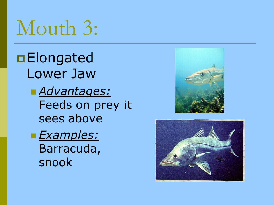 Mouth 3: Elongated Lower Jaw Advantages: Feeds on prey it sees above Examples: Barracuda, snook