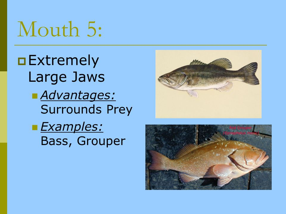 Mouth 5: Extremely Large Jaws Advantages: Surrounds Prey Examples: Bass, Grouper