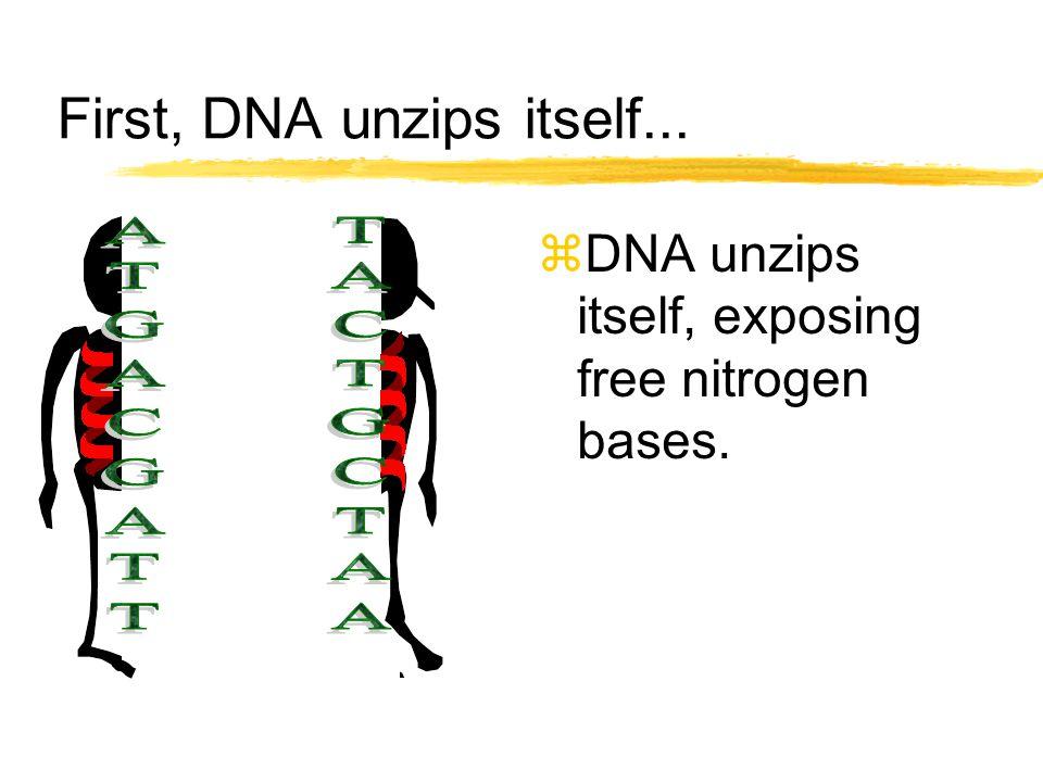 First, DNA unzips itself... zDNA unzips itself, exposing free nitrogen bases.
