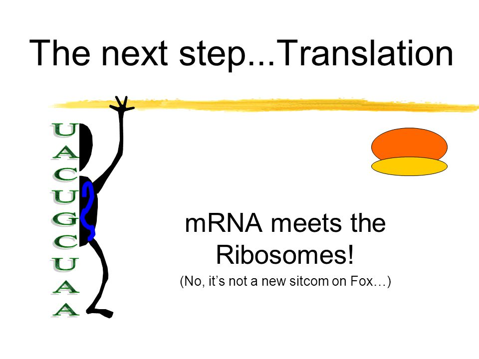 mRNA leaves the nucleus... zDNAs code is copied to mRNA in three letter groups called codons.