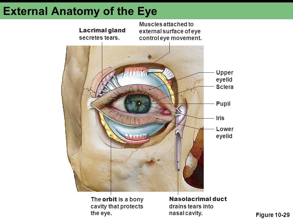 Eye Anatomy External Choice Image - human body anatomy