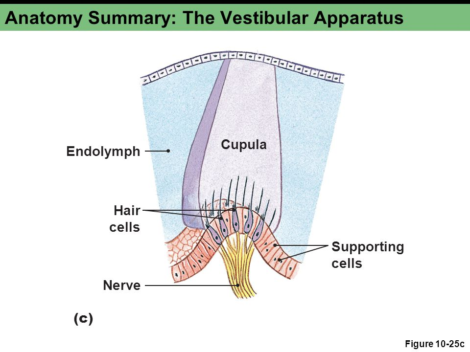 Anatomy Summary: The Vestibular Apparatus Figure 10-25d Nerve fibers Gelatinous otolith membrane Hair cells Otoliths are crystals that move in response to gravitational forces.