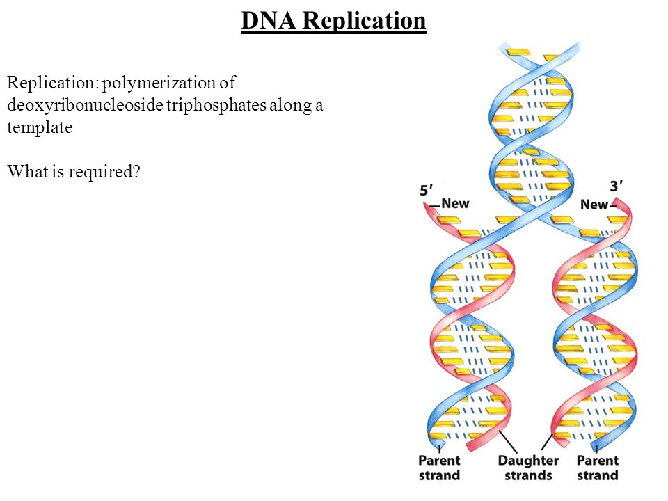 Replication: polymerization of deoxyribonucleoside triphosphates along a template What is required? DNA Replication