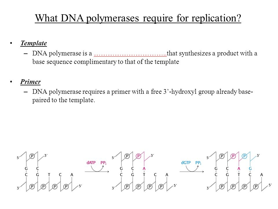 What DNA polymerases require for replication? Template – DNA polymerase is a …………………………..that synthesizes a product with a base sequence complimentary