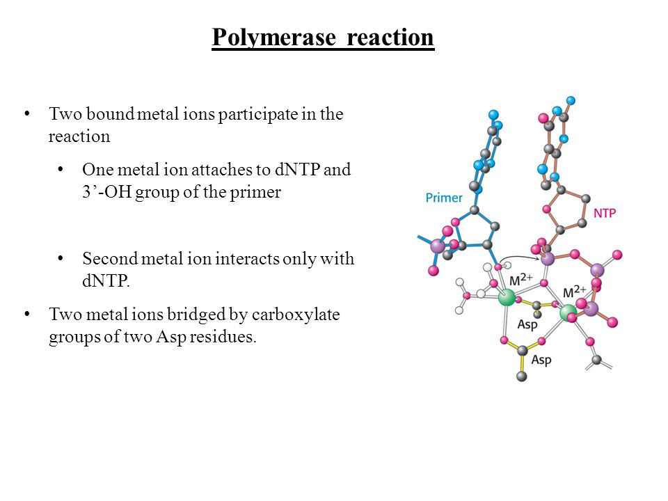 Polymerase reaction Two bound metal ions participate in the reaction One metal ion attaches to dNTP and 3-OH group of the primer Second metal ion inte