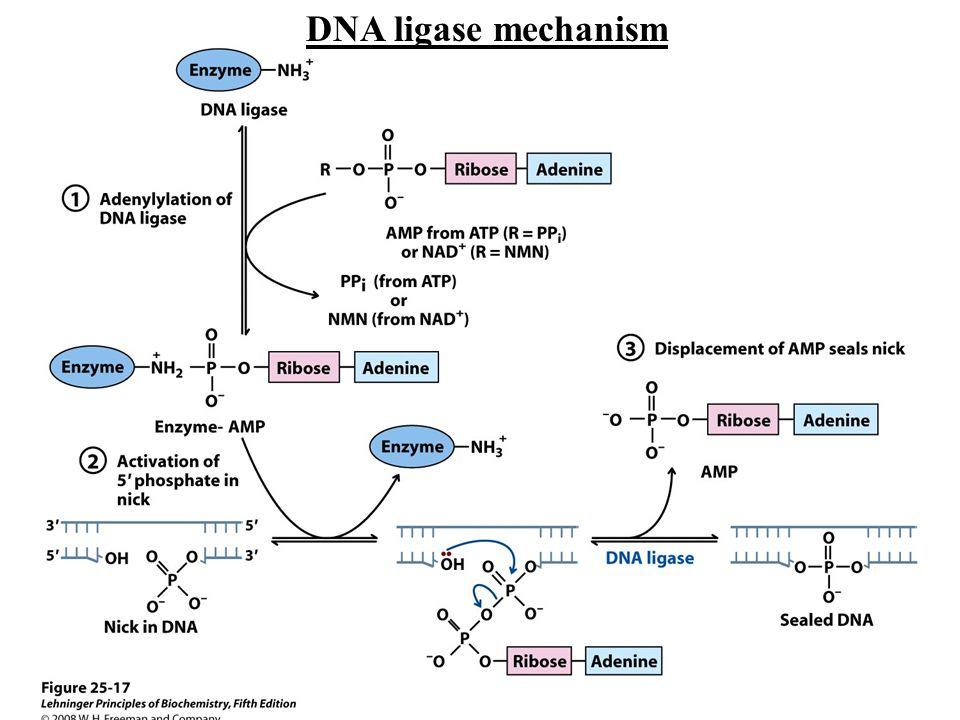 DNA ligase mechanism