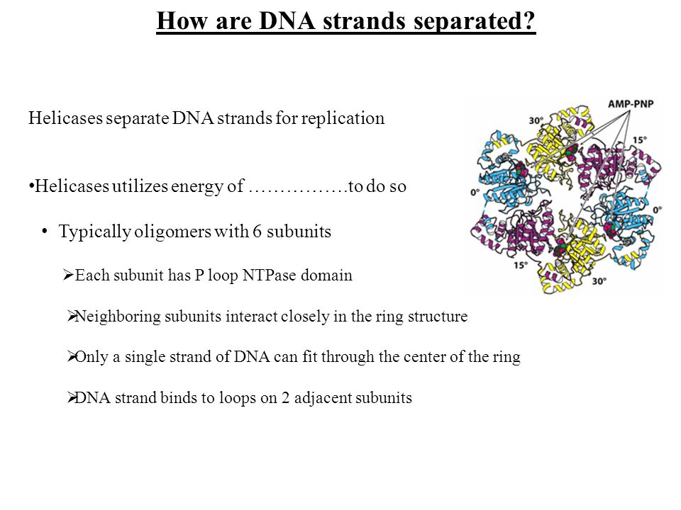 Helicases separate DNA strands for replication Helicases utilizes energy of …………….to do so Typically oligomers with 6 subunits Each subunit has P loop
